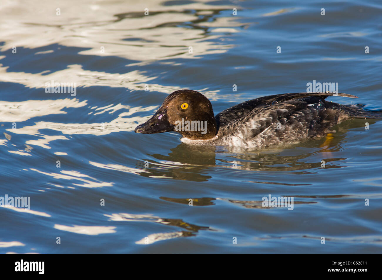 Female Common Goldeneye duck, Bucephala clangula, swimming in Gulf ocean waters at Rockport, Texas. - Stock Image
