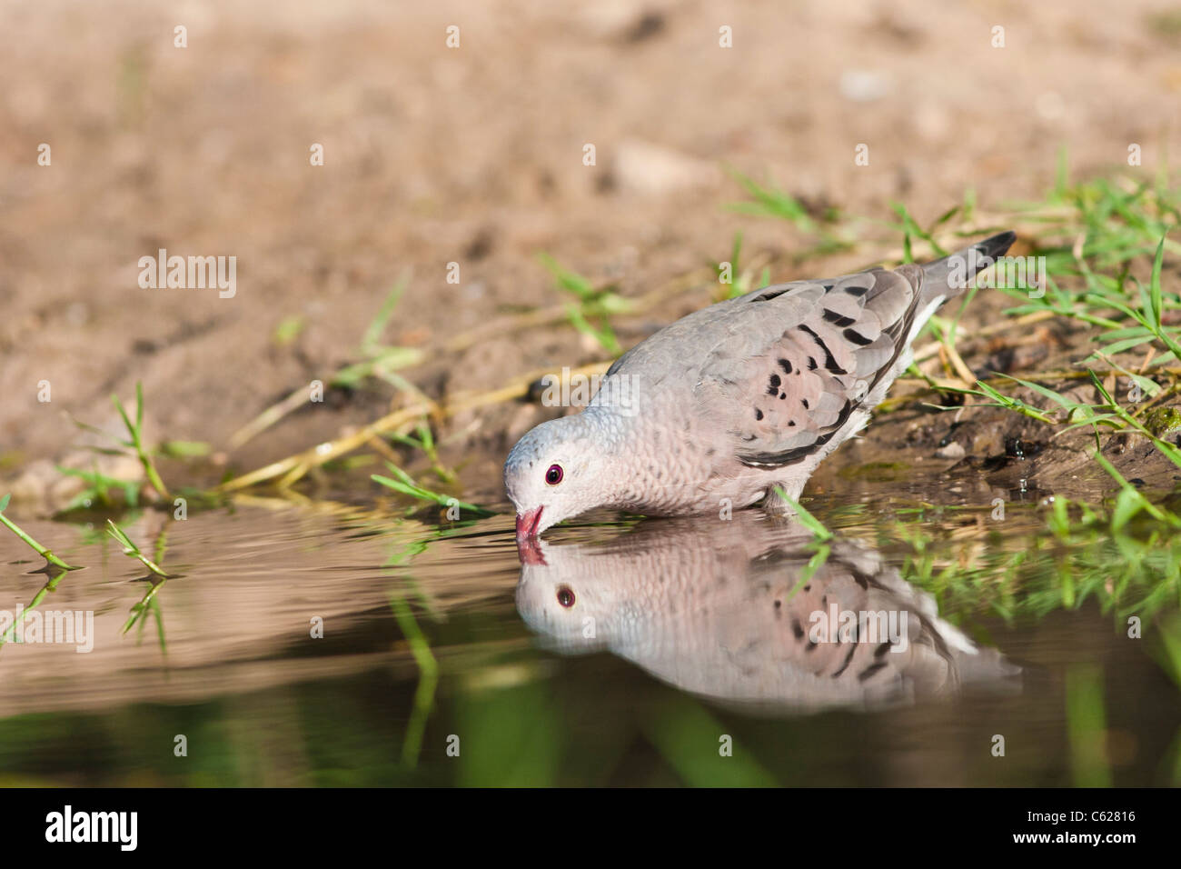 Common Ground-Dove, Columbina passerina, looking for water and relief from summer heat. - Stock Image