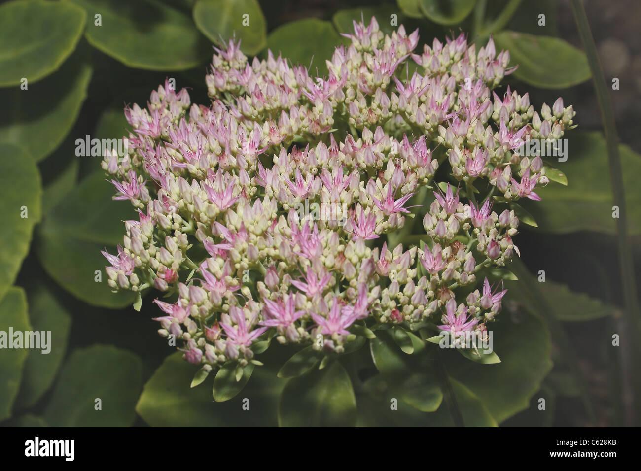 image of Showy Stonecrop flowers Sedum spectabile - Stock Image