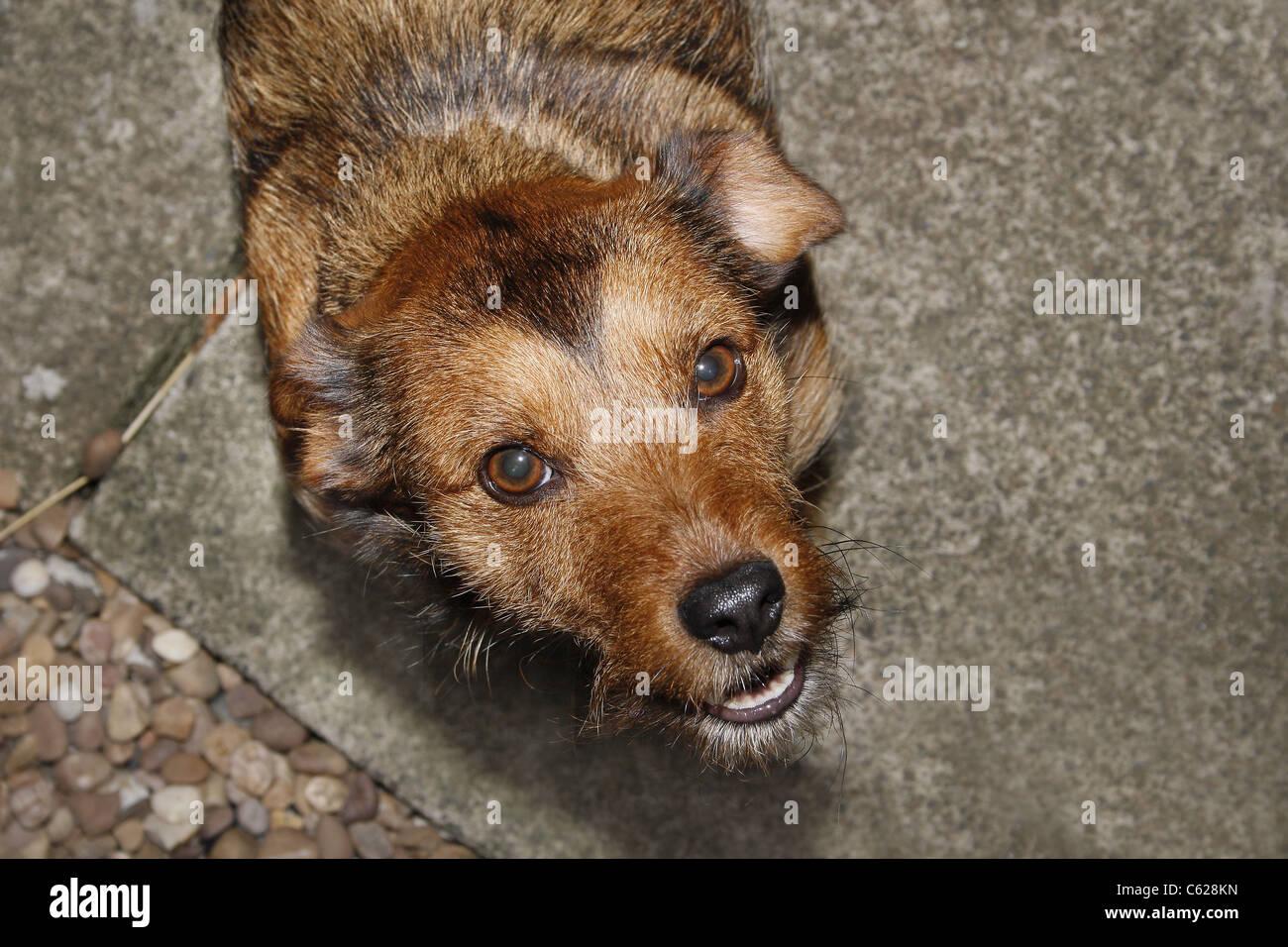 dog barking at camera Canis lupus familiaris - Stock Image