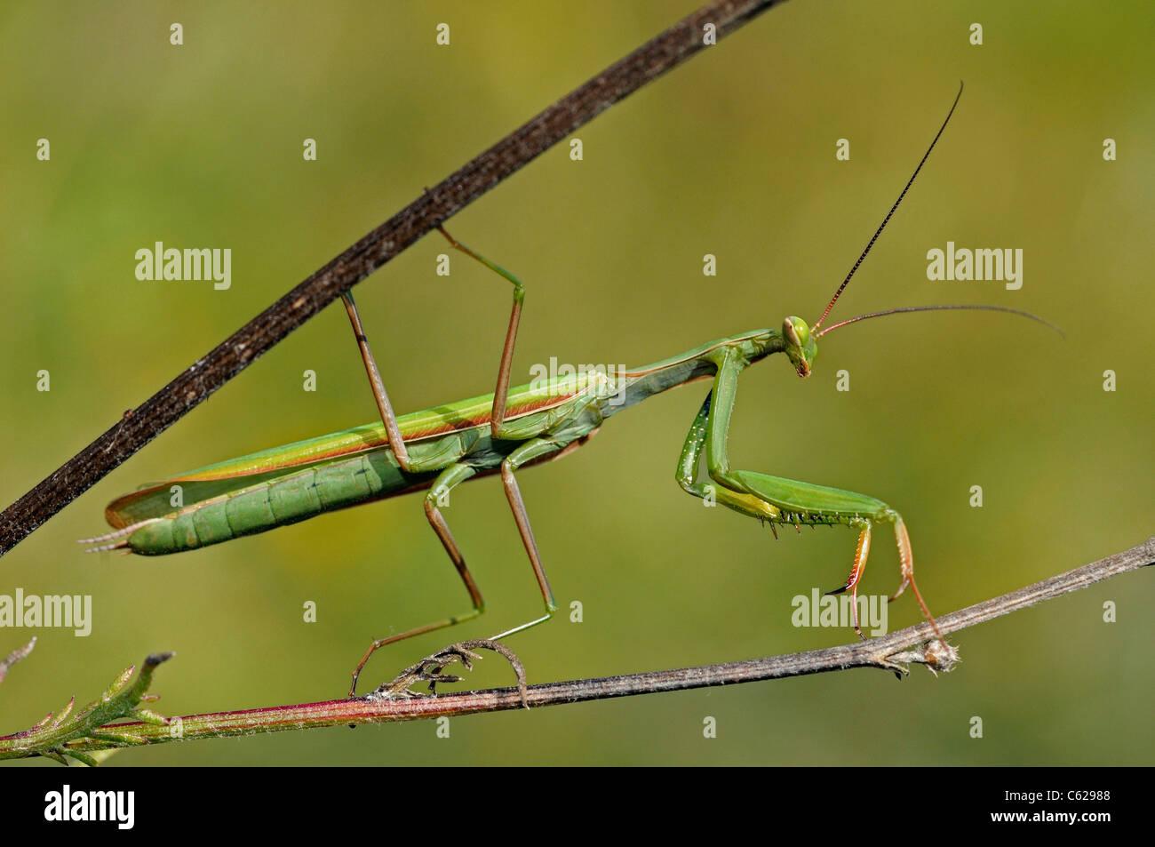 European Mantis or Praying mantis - Stock Image