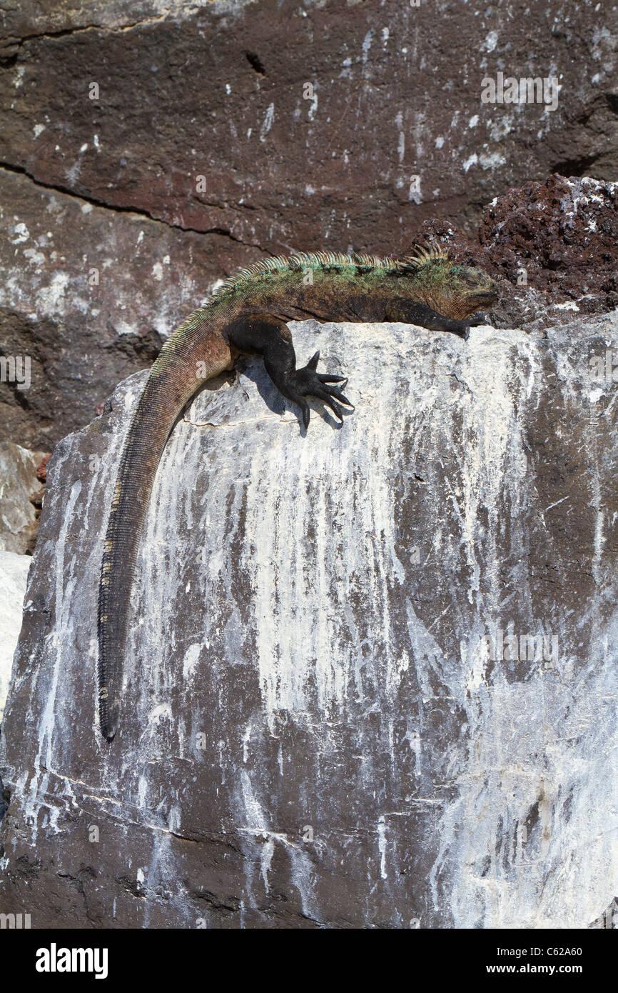 Large male  marine iguana sun-baking on rocks, Elizabeth Bay, Isabella Island, Galapagos Stock Photo