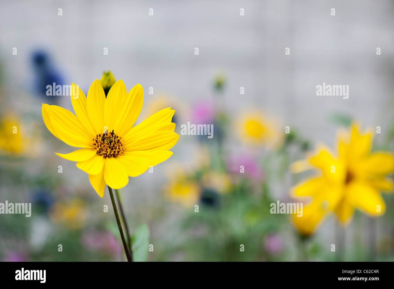 Helianthus salicifolius. Willow-leaved sunflower - Stock Image