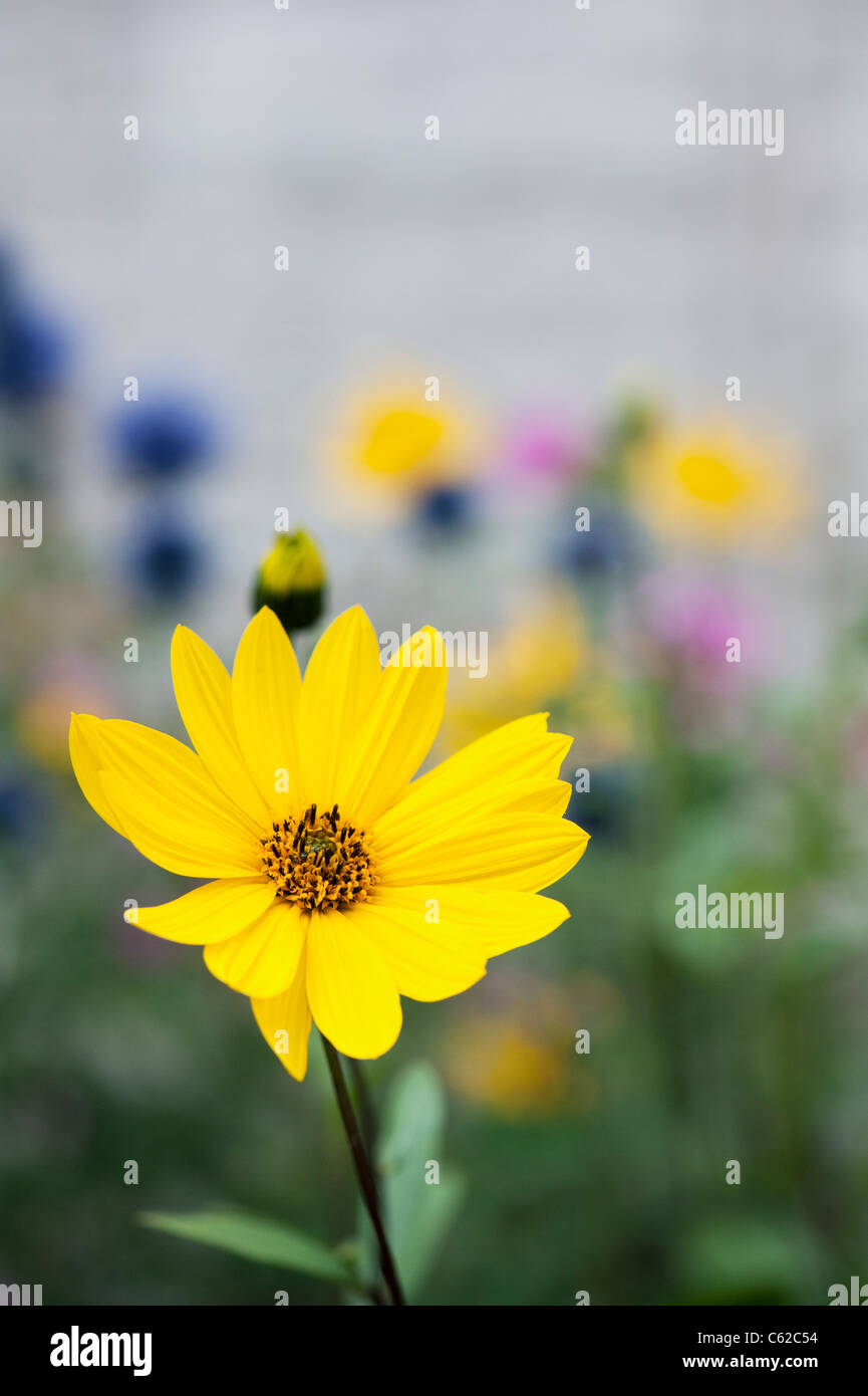 Helianthus salicifolius. Willow-leaved sunflower - Stock Image