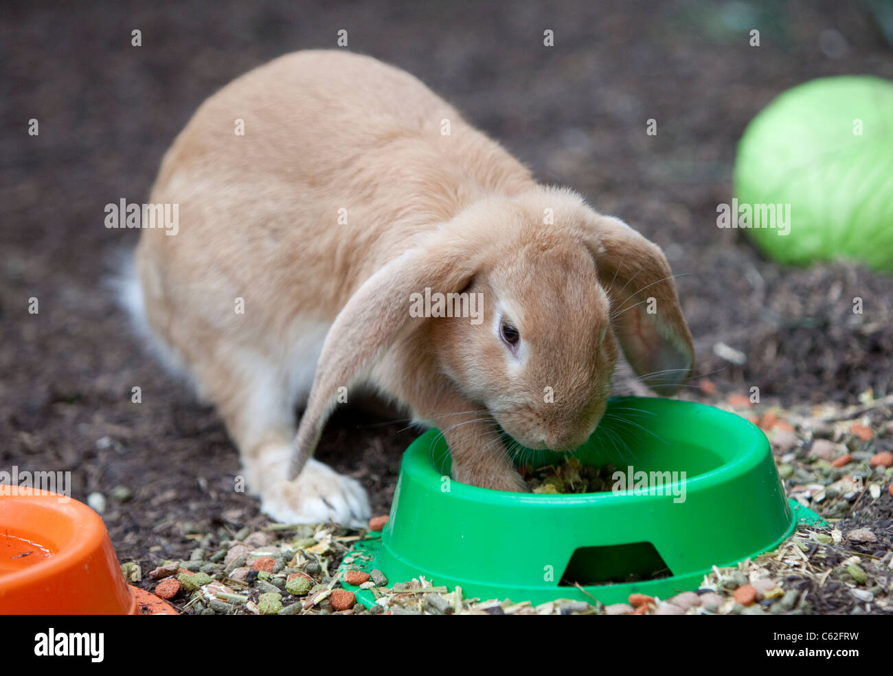 A giant lop-eared Rabbit eating food from a green bowl. - Stock Image