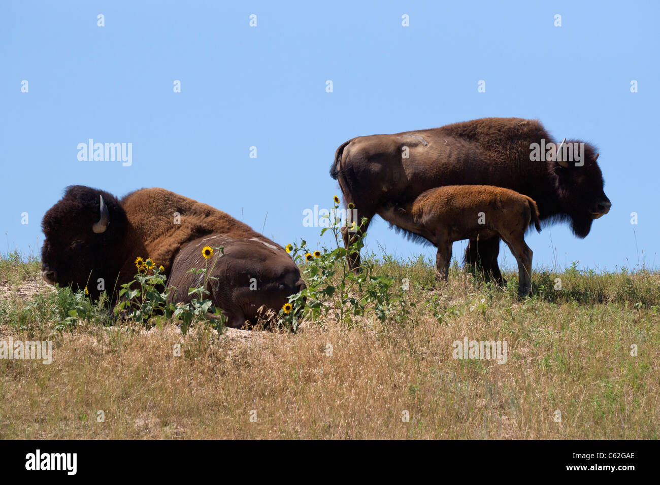 Close view of peaceful American plains bison cow feeding a calf and a bull wallowing on a prairie in South Dakota - Stock Image