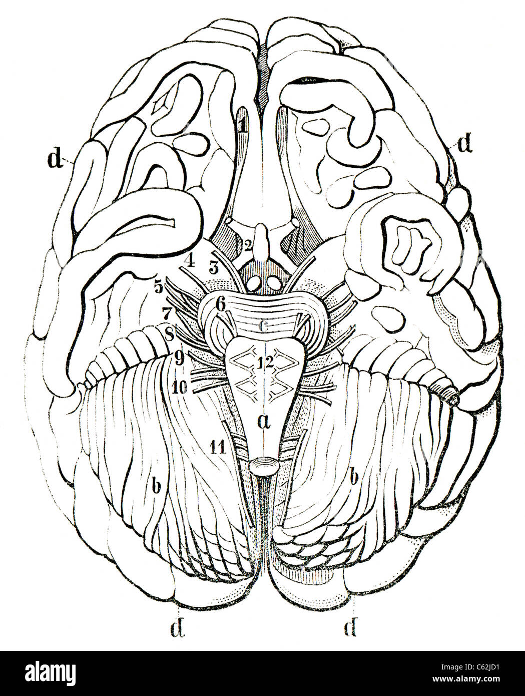 An old engraving of the human brain. The human brain in section. The book 'Natur und Offenbarung' 1861. - Stock Image