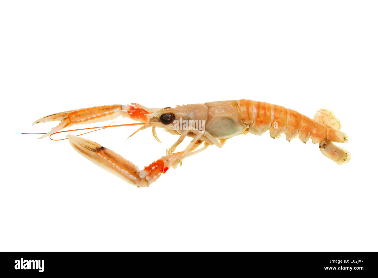 Side view of a langoustine, also known as Norway lobster, Dublin bay prawn or scampi isolated against white - Stock Image