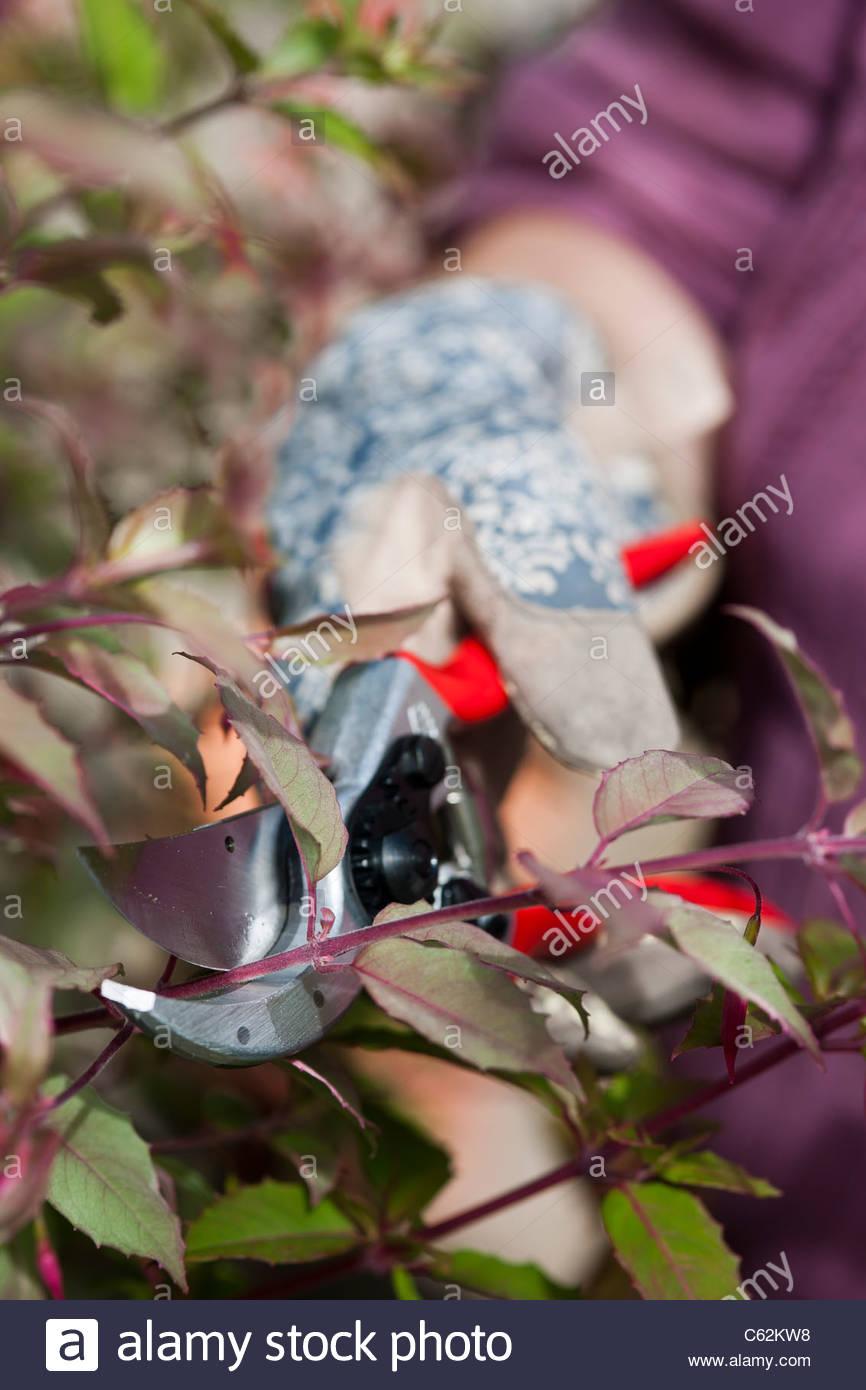using secateurs prune pruning Fuchsia glove gloved hand practical garden job technique skill woman July summer - Stock Image