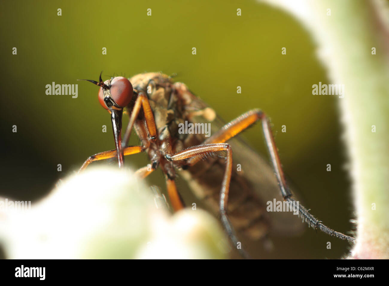 High magnification macro image of an empid fly showing its compound eyes. - Stock Image
