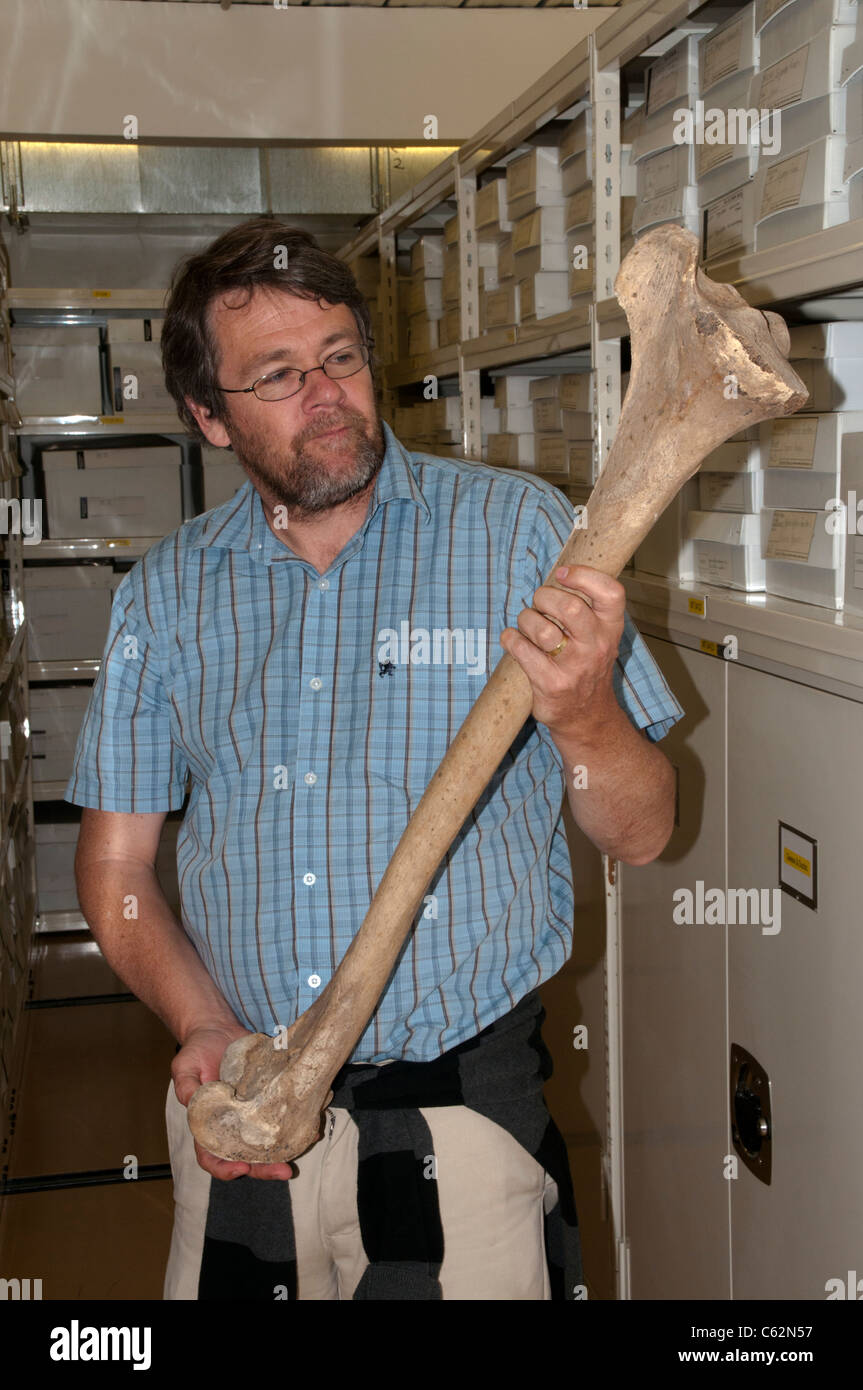 Paul Scofield is curator in the Canterbury Museum in Christchurch in New Zealand and showing the femur of a female - Stock Image