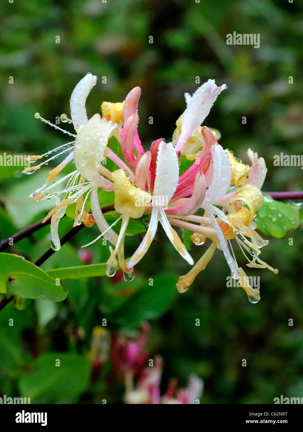 European Honeysuckle, Lonicera periclymenum, flower in allotment - Stock Image