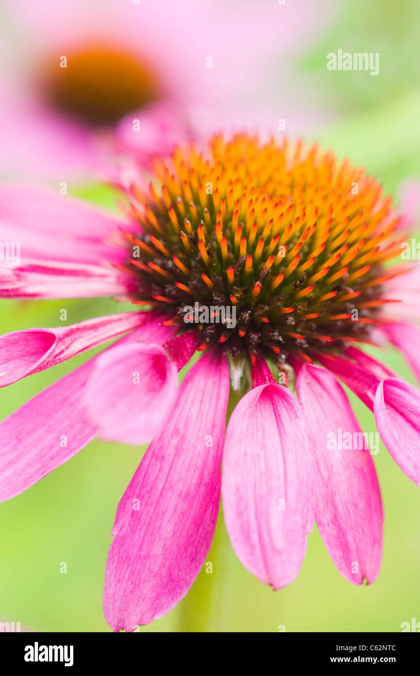 Echinacea purpurea Eastern purple cone flowers or Purple coneflower - Stock Image