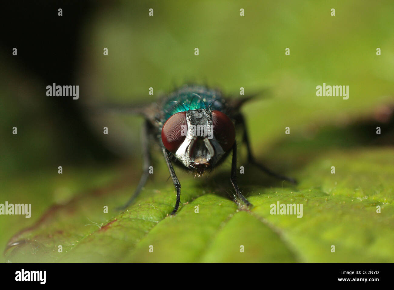 High magnification macro image of a green bottle fly showing its compound eyes. - Stock Image