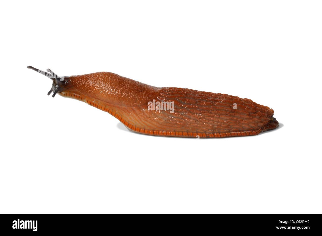 Spanish Slug - Stock Image