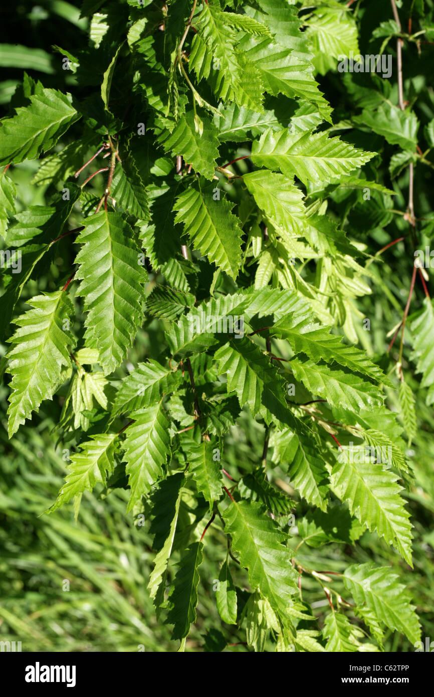 European or Common Hornbeam, Carpinus betulus 'Incisa', Betulaceae (Corylaceae). Europe. - Stock Image