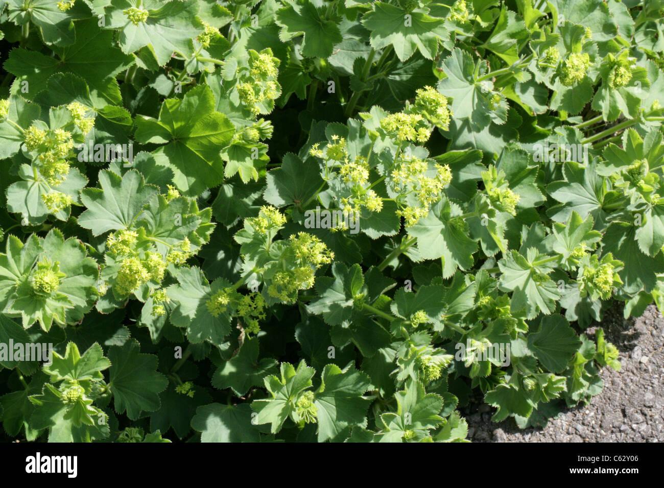 Alchemilla aroanica, Rosaceae. Greece. - Stock Image