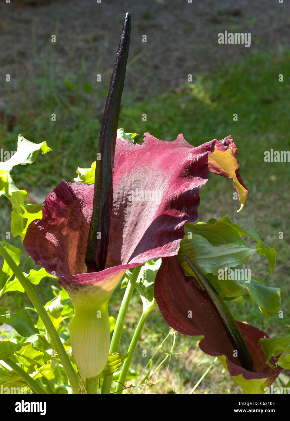 DRAGON ARUM PLANT IN FLOWER - Stock Image