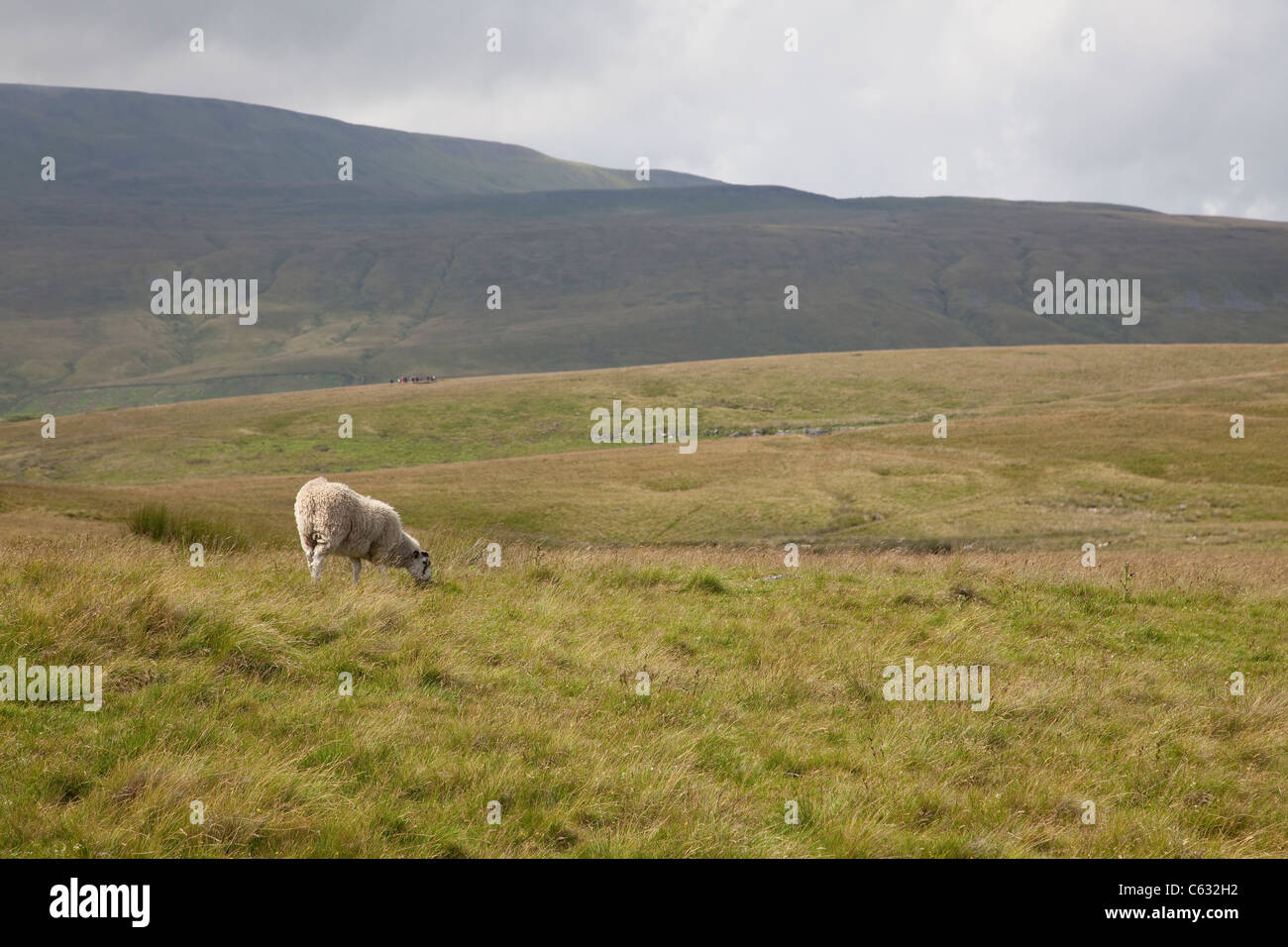 Sheep grazing in the Yorkshire Dales National Park just south of Wherside - Stock Image
