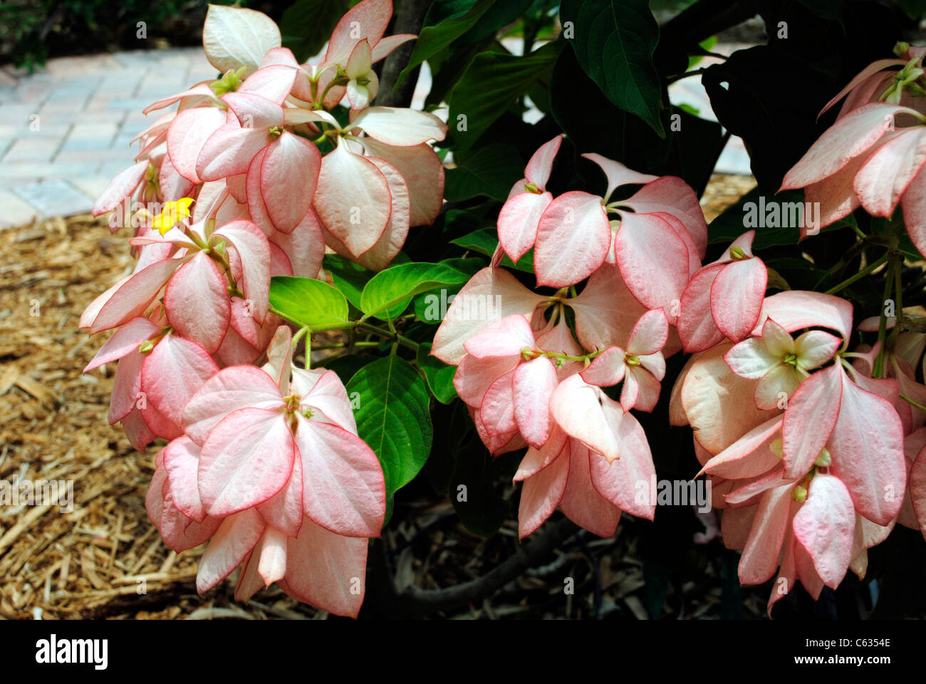 Bunga Merah Muda Stock Photos Images Alamy Mussaenda Philippica Queen Sirkit Image