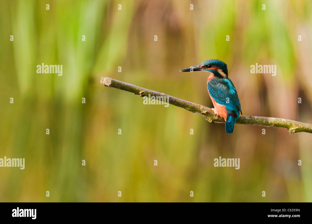 Male Common Kingfisher (Alcedo atthis) perched Stock Photo