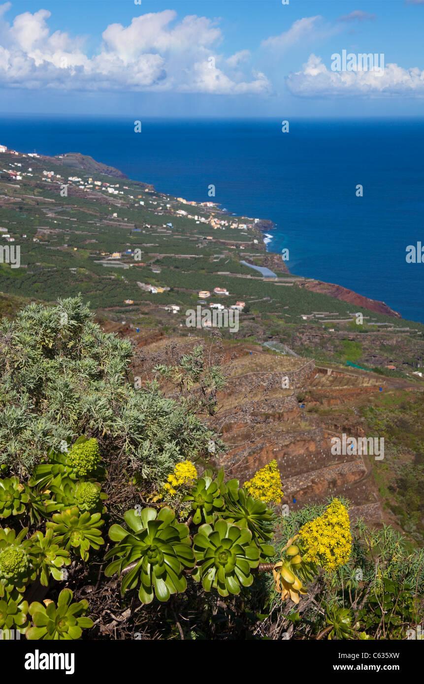 Coast a Bartolo, Tree aenium (Aeonium arboreum), La Palma, Canary islands, Spain, Europe, Atlantic ocean Stock Photo