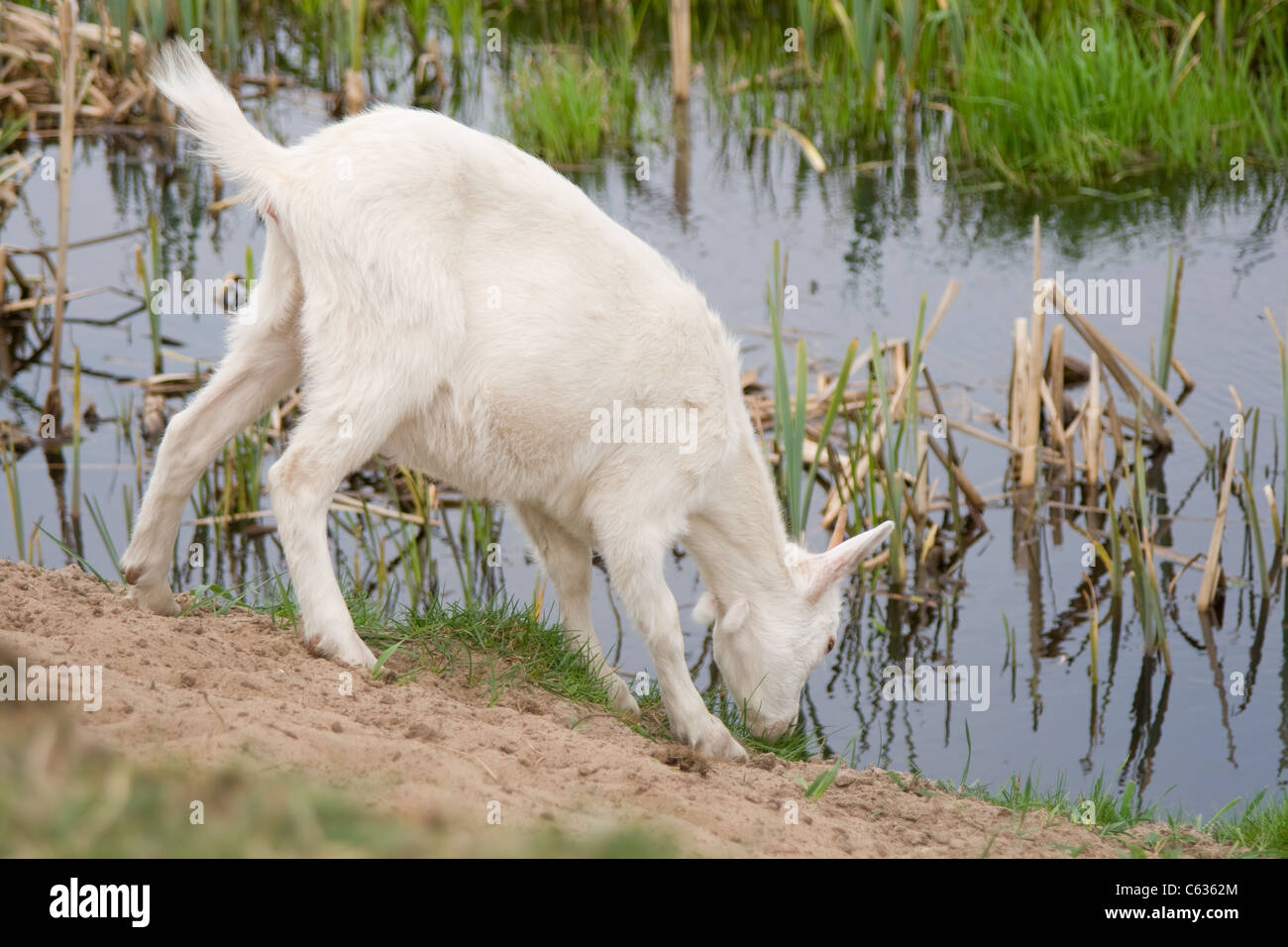 young goat drinking water from stock photos young goat drinking