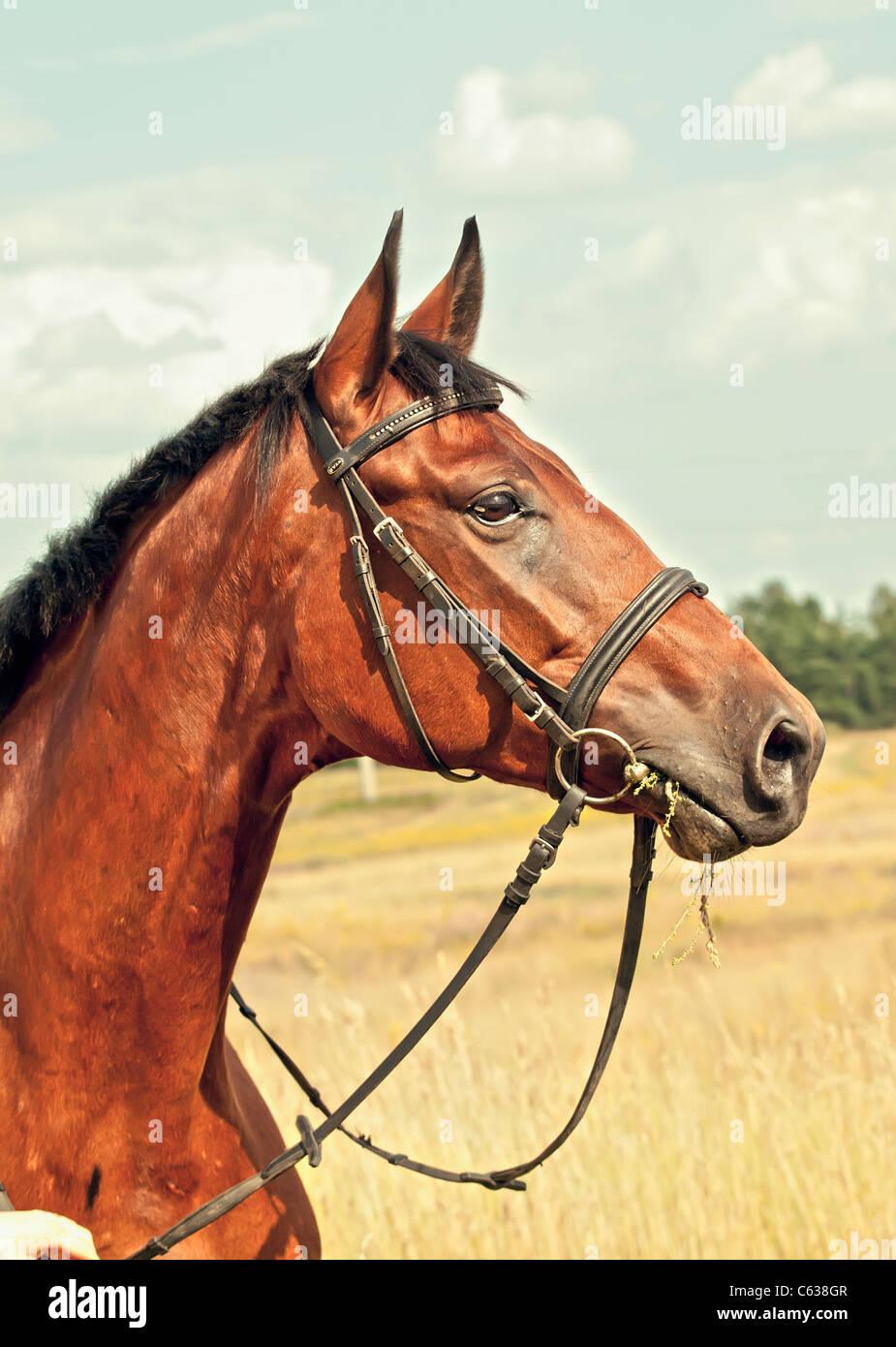 nice bay horse in autamn meadow Stock Photo
