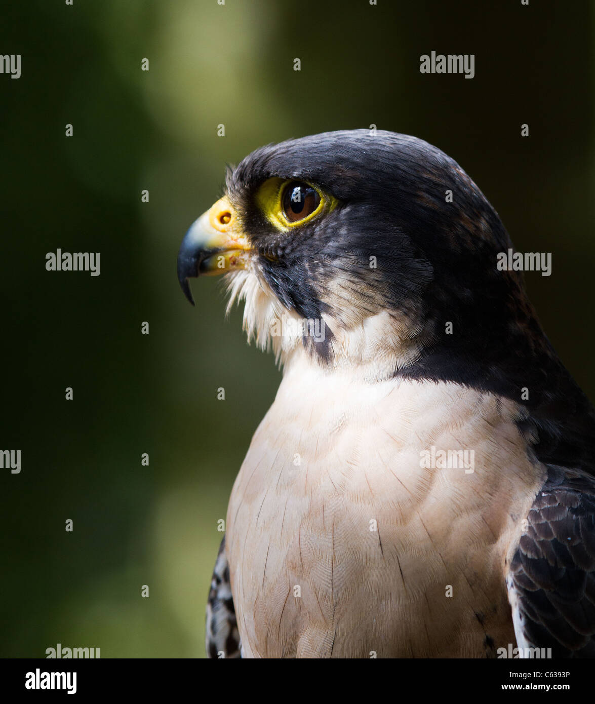 Profile with catchlight of a male Peregrine Falcon - Stock Image