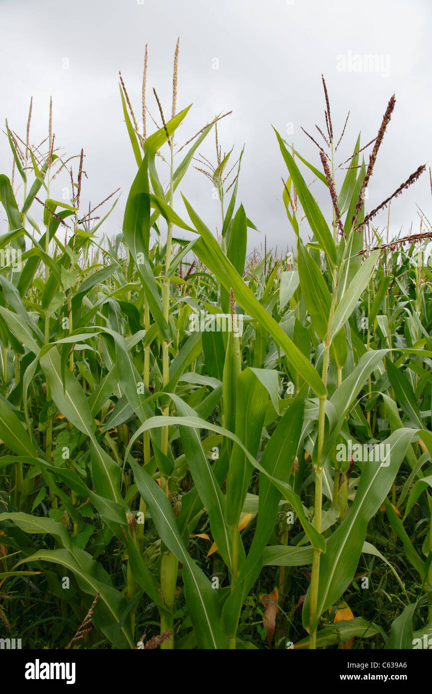 maize field - Stock Image