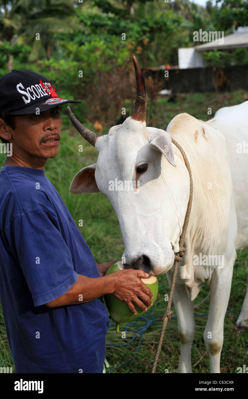 A Javanese man gives his cow thirst quenching coconut drink. - Stock Image