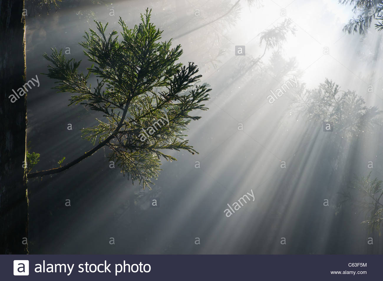 Morning mist and sunbeams through Reunion island's cryptomeria forest symbolizing photosynthesis - Stock Image