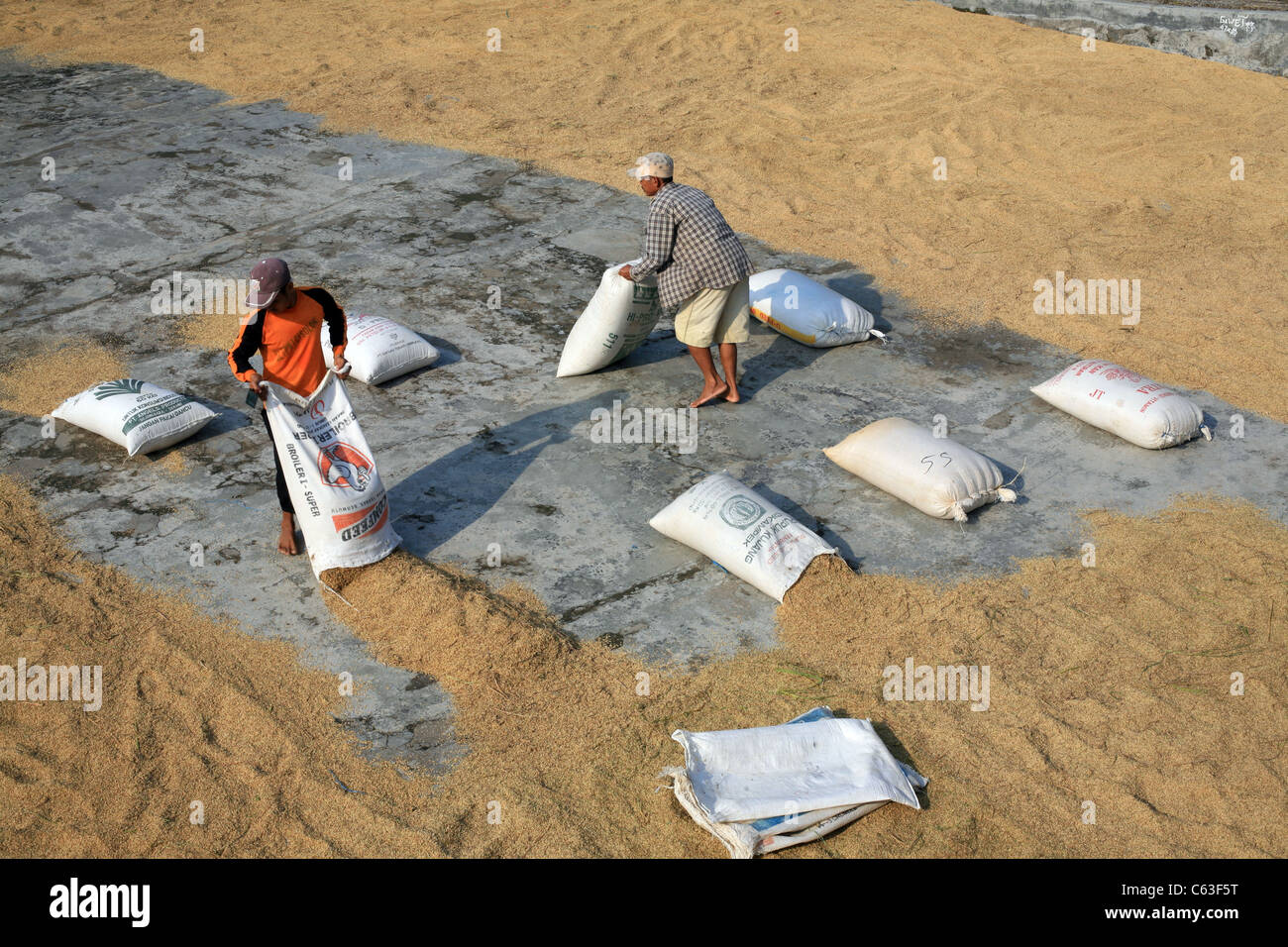 Men laying out sacks of harvested rice to dry in the sun at Cimaja - Stock Image