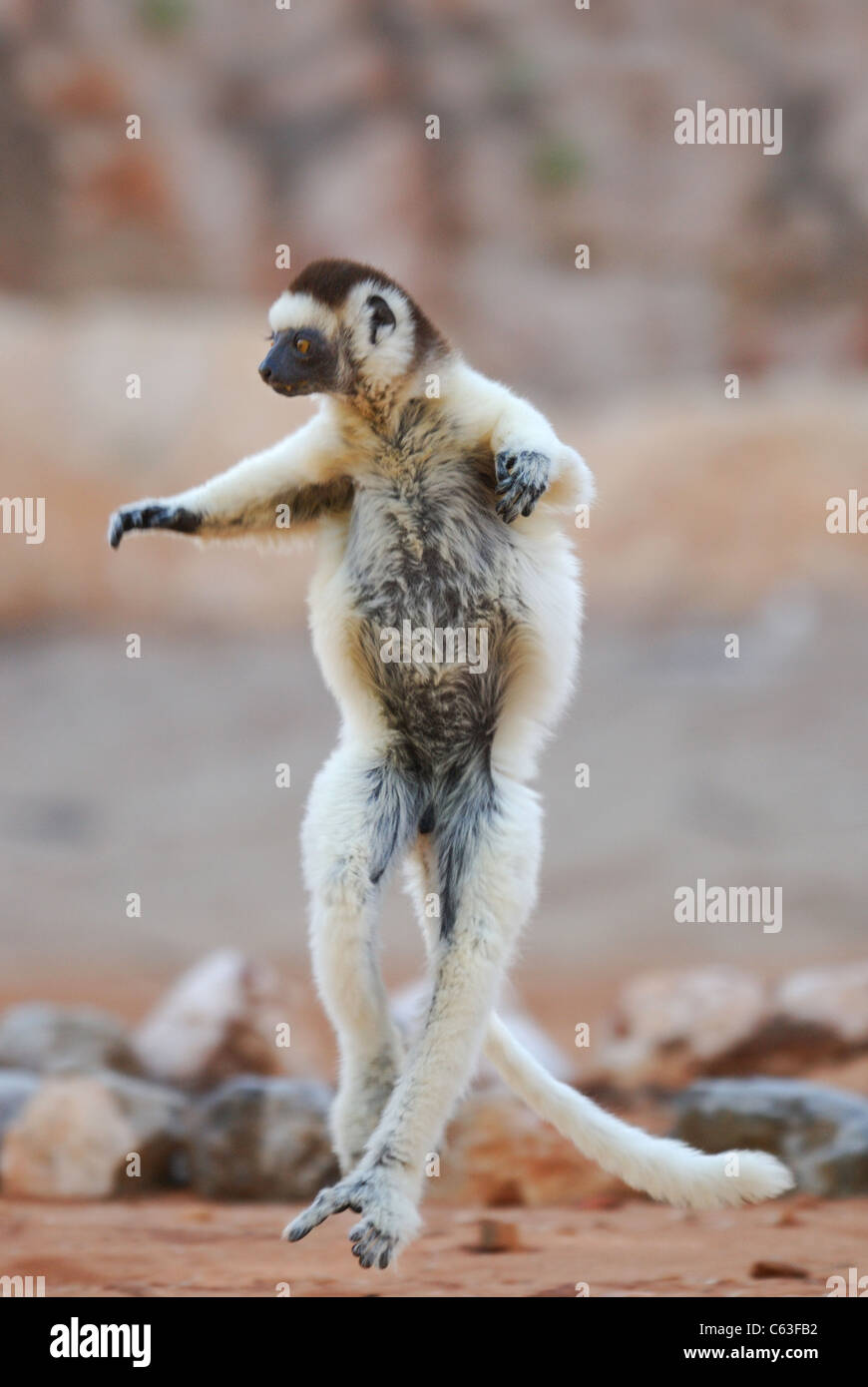 Verreaux's Sifaka (Propithecus verreauxi) dancing in the Berenty Nature Reserve, southern Madagascar - Stock Image