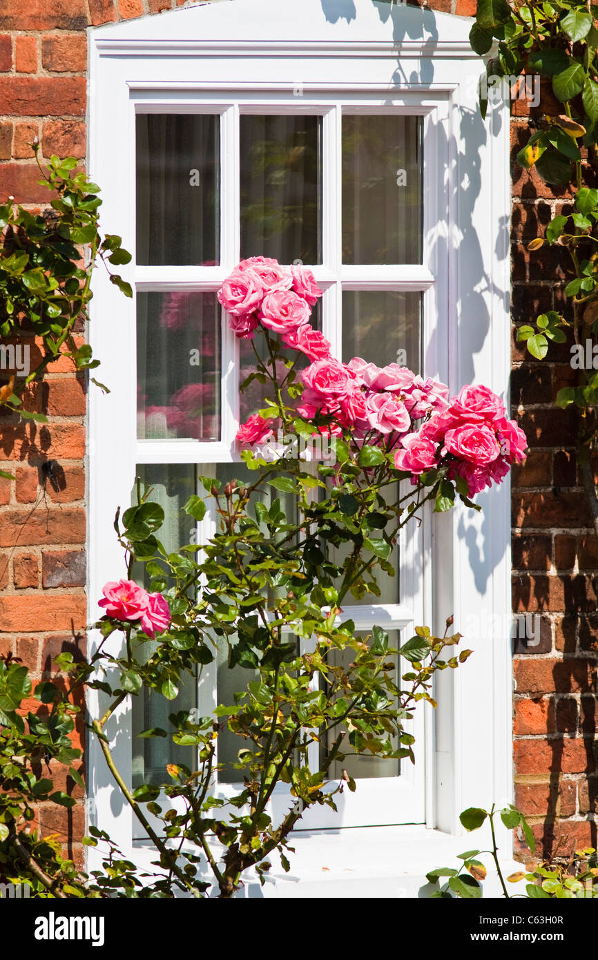Rose bush outside window in Amersham old town high street - Stock Image