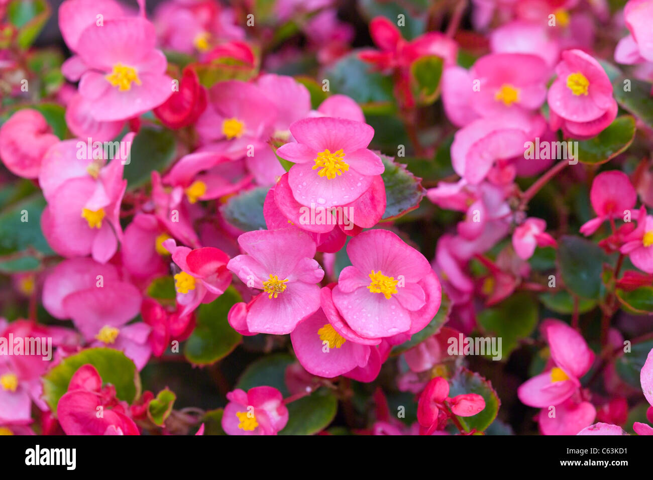 Wax Begonia flowers Stock Photo