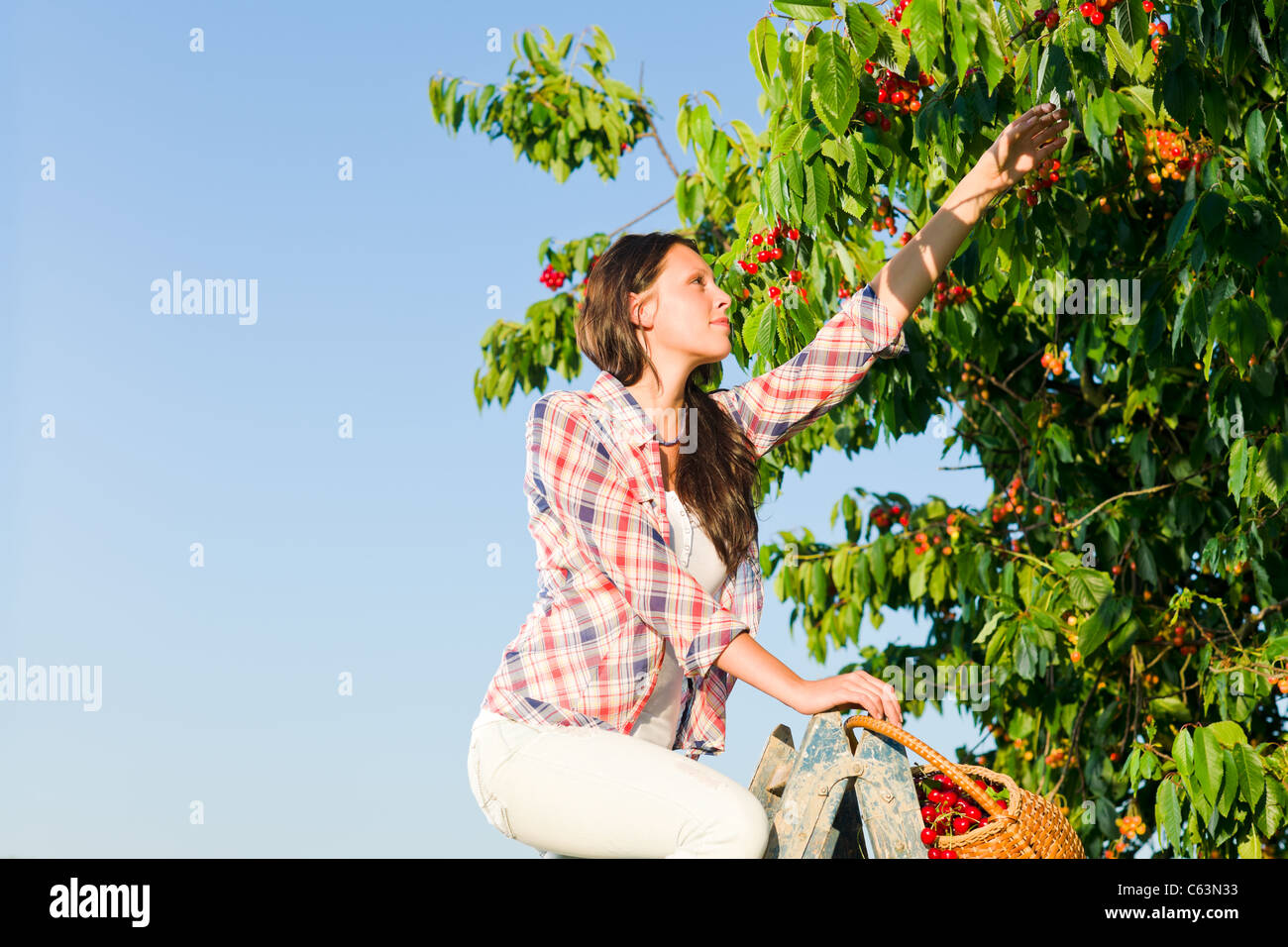 Cherry tree beautiful woman harvest summer sunny countryside on ladder - Stock Image