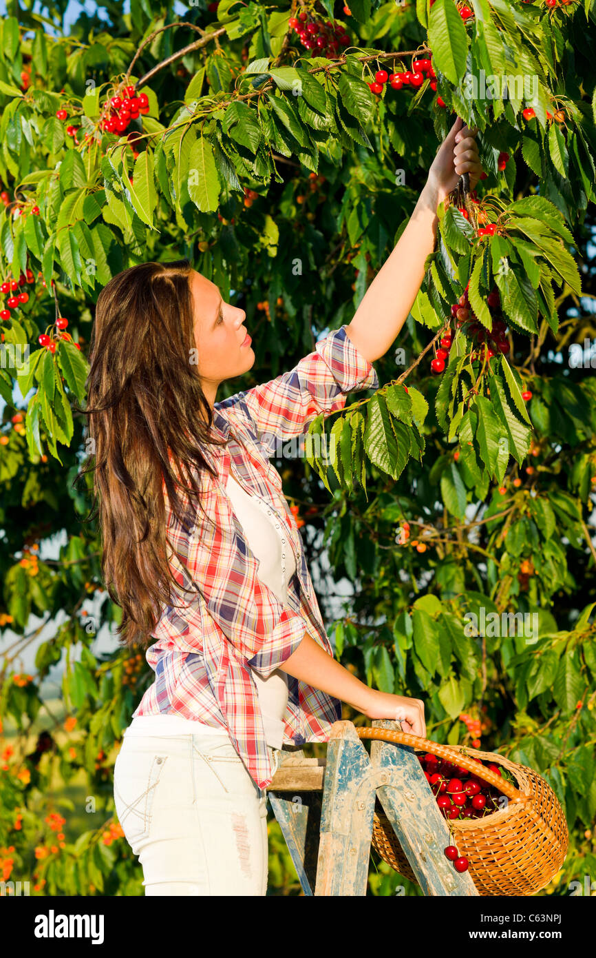 Beautiful woman harvest cherry tree summer stand on ladder sunny day - Stock Image