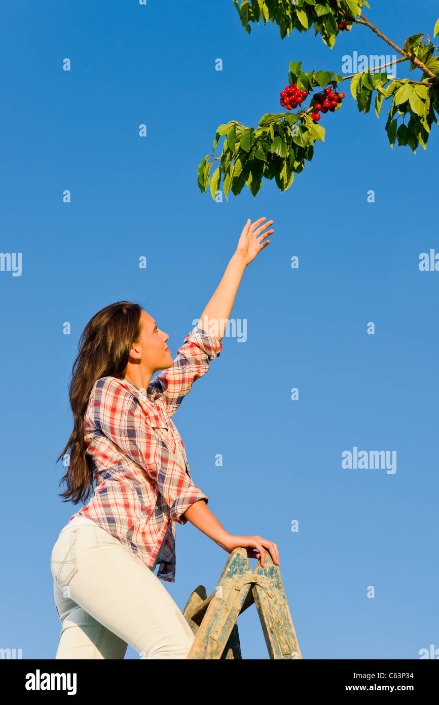 Young woman reaching high cherry branch tree summer blue sky - Stock Image