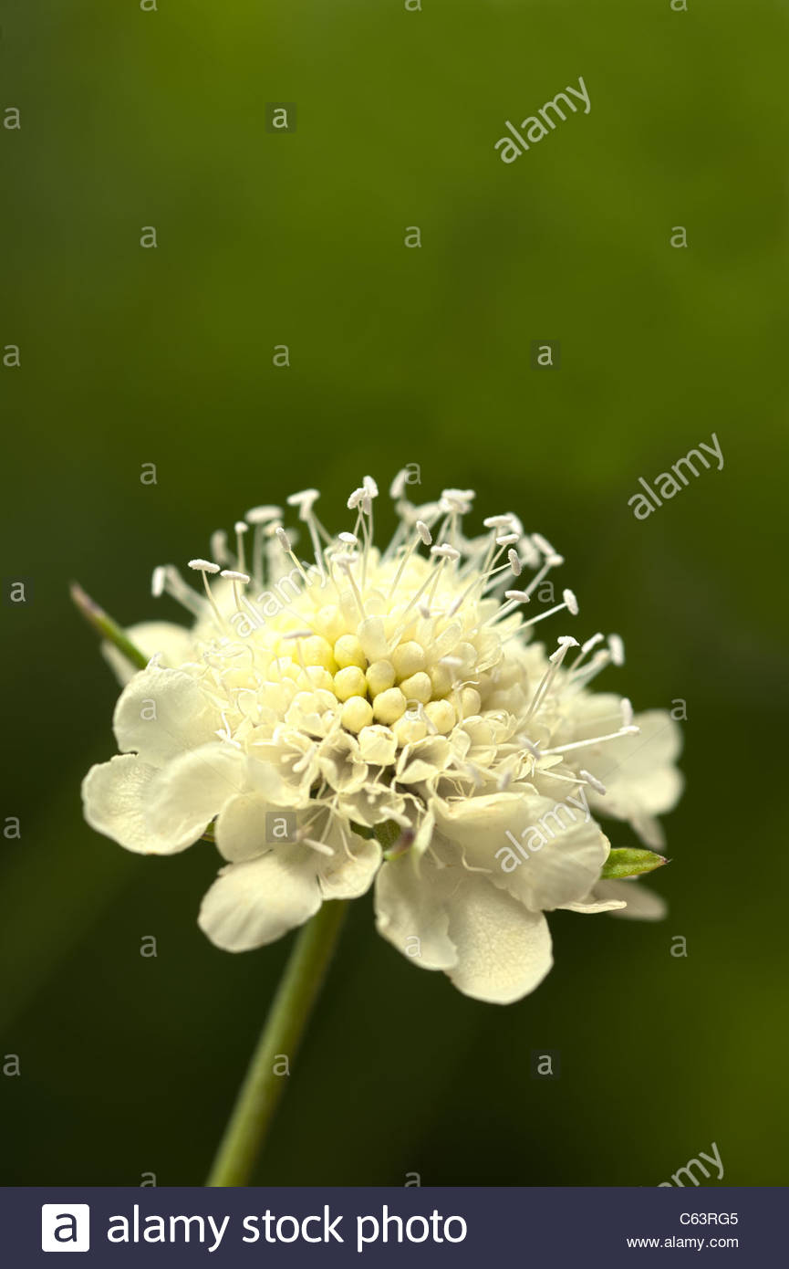 Pincushion Flower Scabiosa Ochroleuca Moon Dance Summer Flower Stock