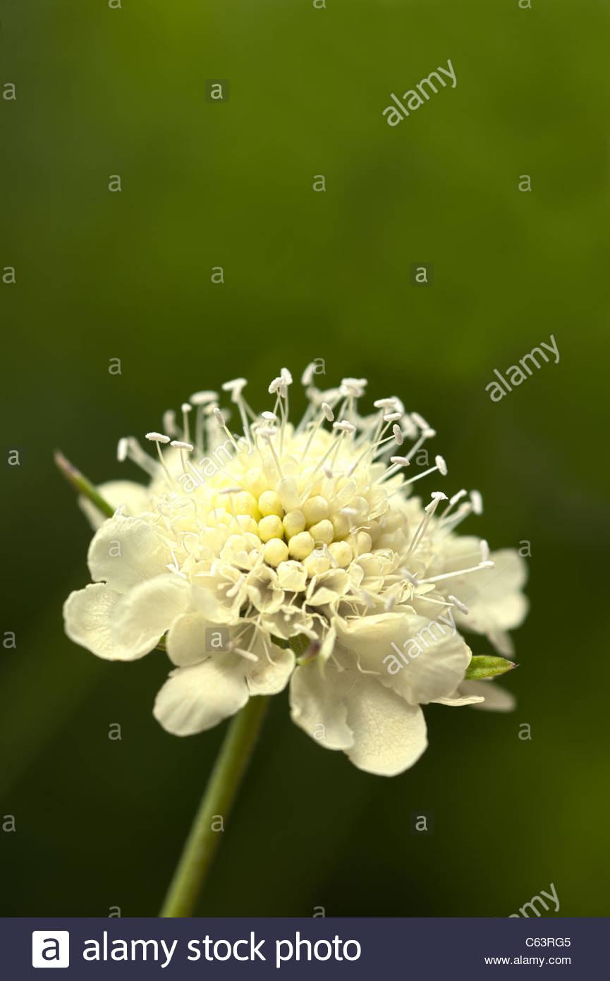 Scabiosa Pincushion Flower Stock Photos Scabiosa Pincushion Flower
