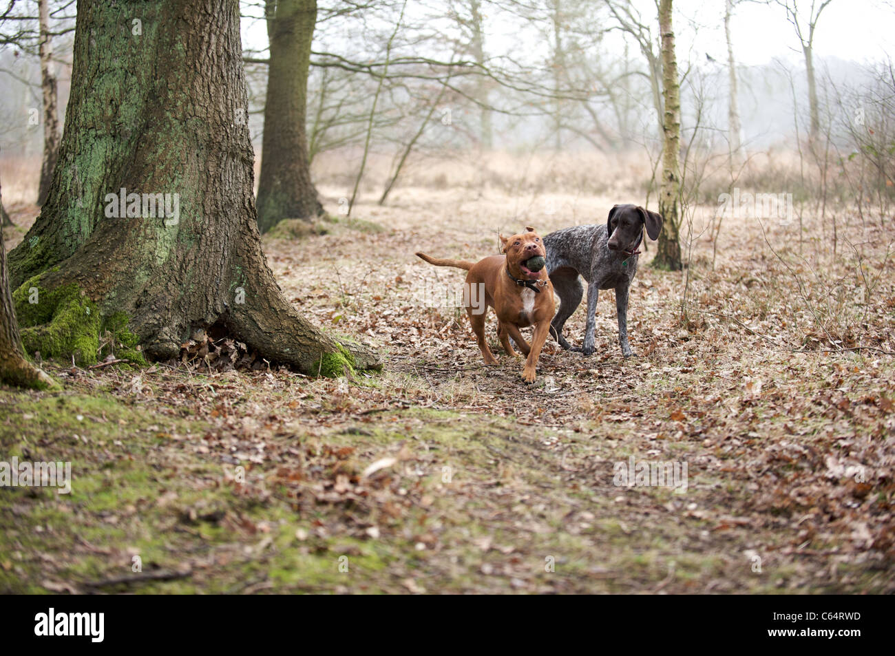 A Bull Terrier playing ball with a German Pointer - Stock Image