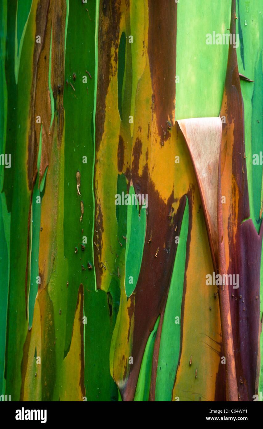 Rainbow Eucalyptus,  Eucalyptus deglupta, also known as Mindanao Gum, Rainbow Gum, bark, Arenal, Costa Rica - Stock Image