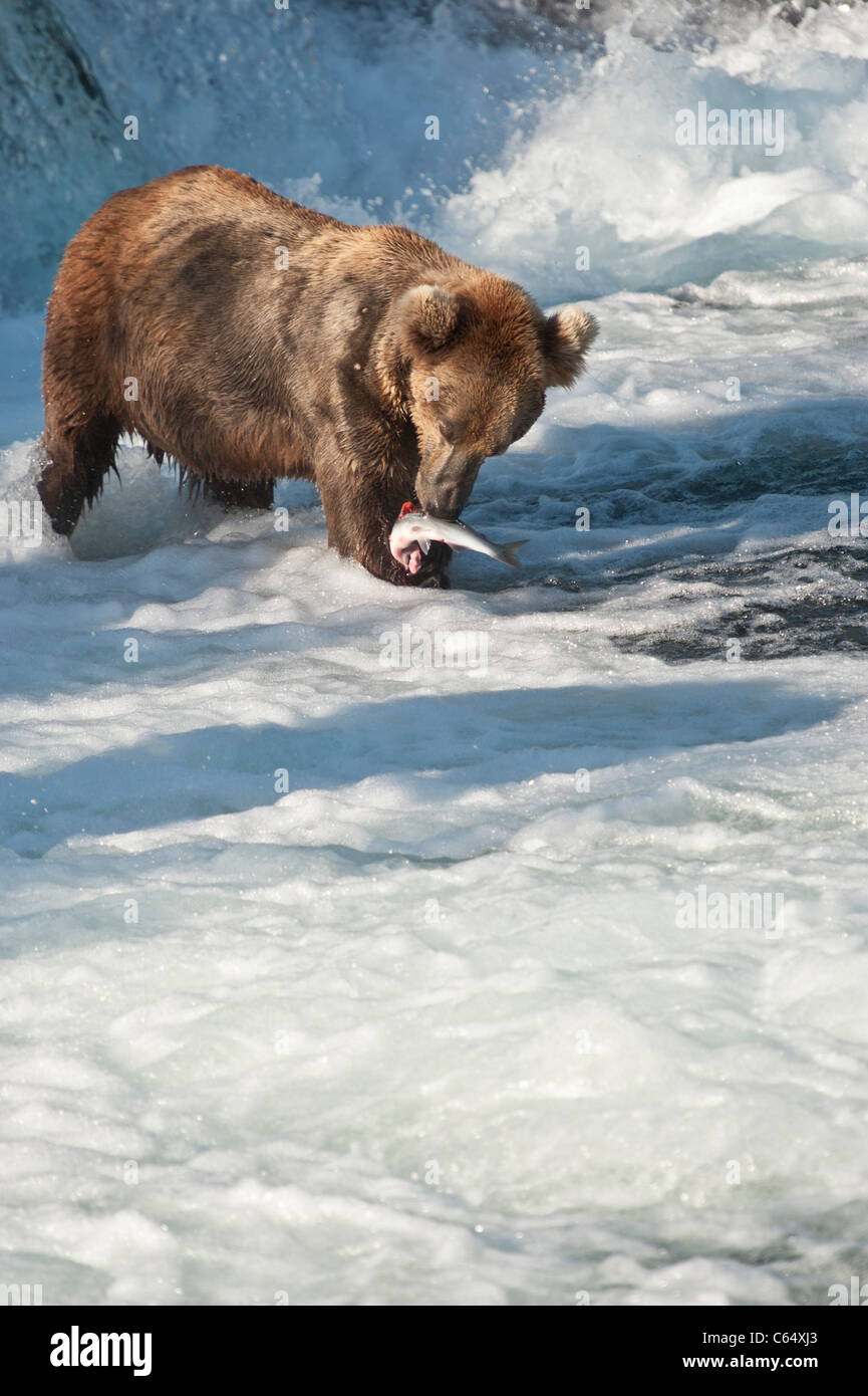 Grizzly catching Salmon in the falls - Stock Image
