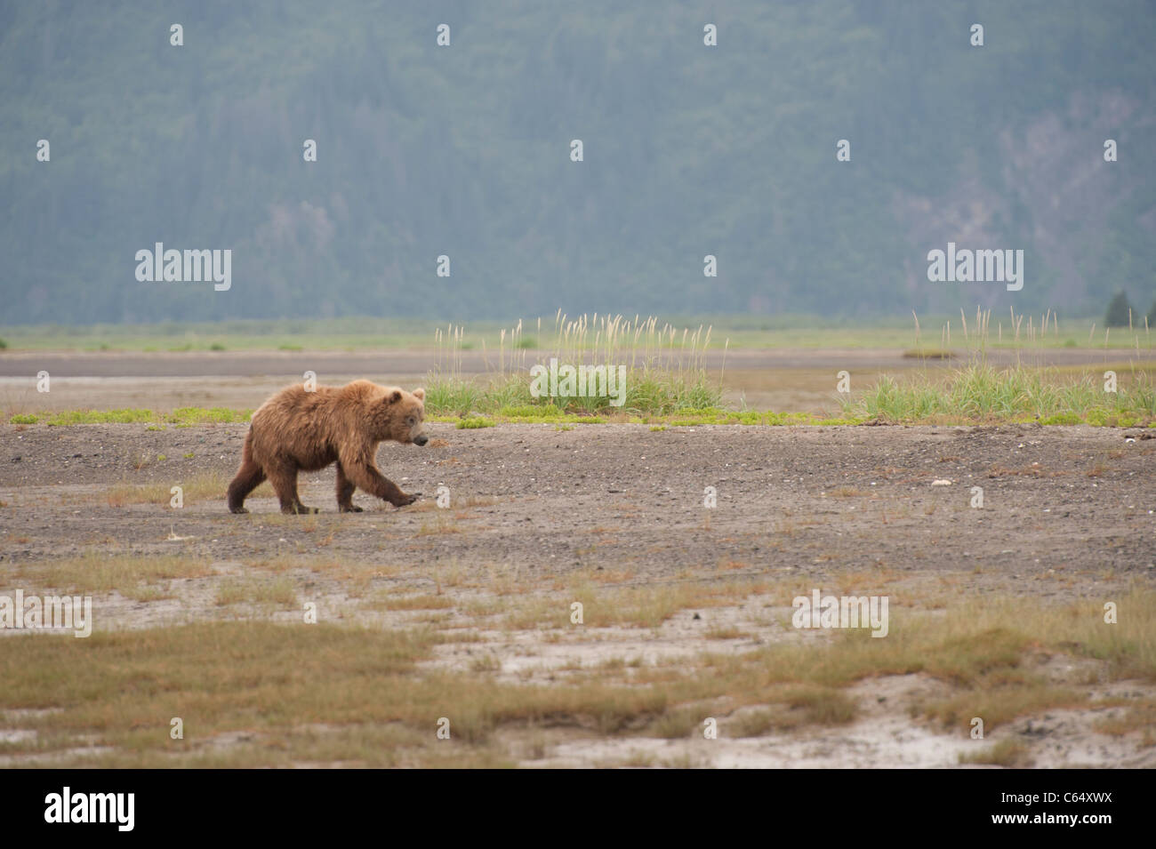 Brown Grizzly Bear walking on Beach - Stock Image