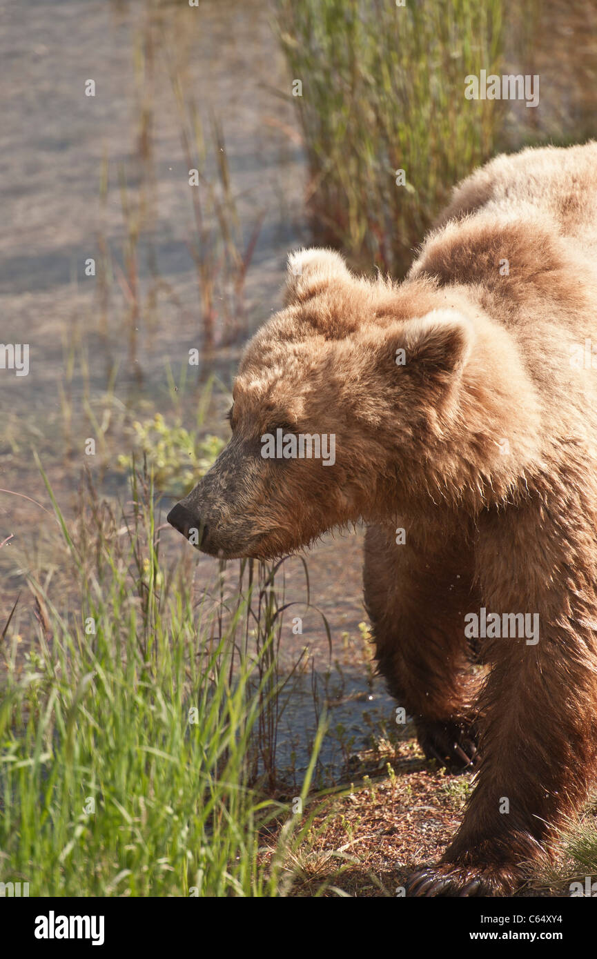 Grizzly Brown Bear walking - Stock Image