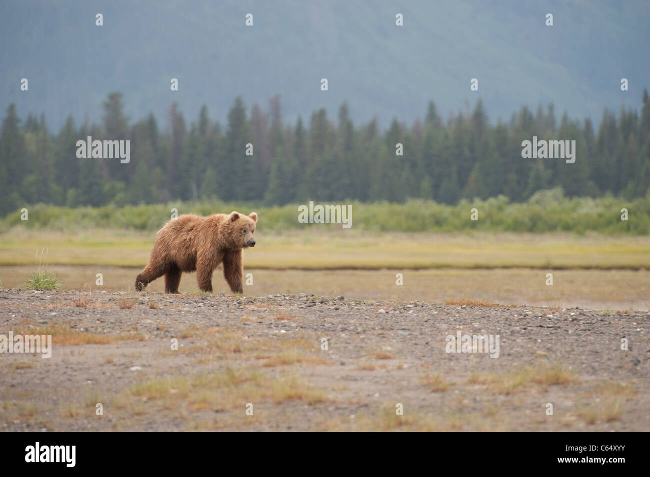 Brown Grizzly Bear walking along Beach - Stock Image