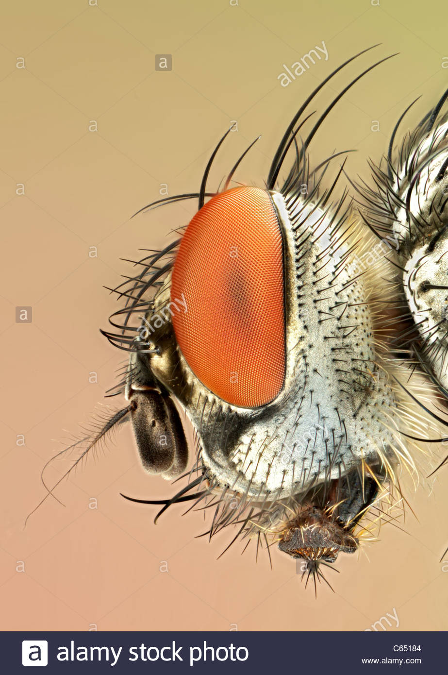 Flesh-fly (Scatophaga sp.), close-up of head. - Stock Image
