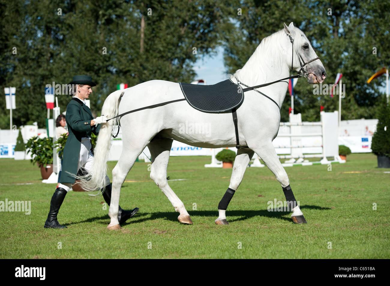 Demonstration of classical dressage of Lipizzan stallion during Grand Prix Bratislava on August 13, 2011 in Bratislava, - Stock Image