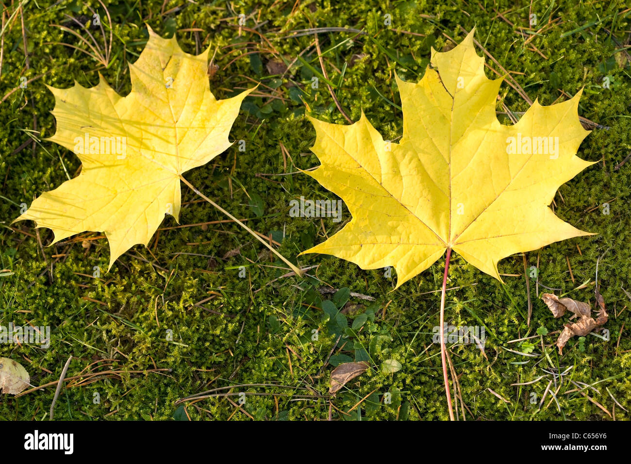 Yellow leaves on grass - Stock Image